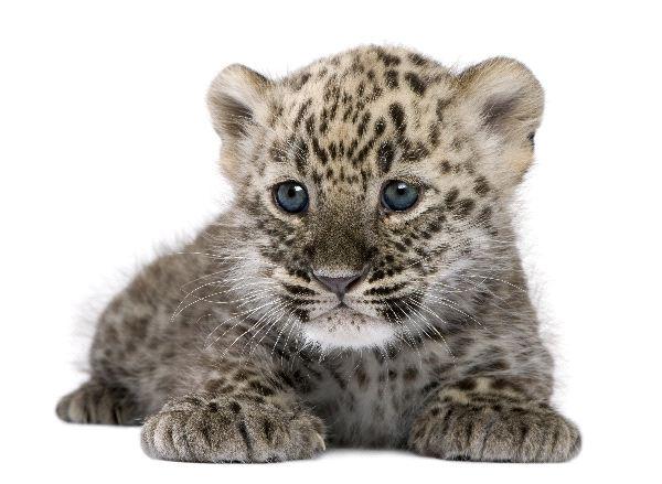 Persian Leopard - Panthera pardus ciscaucasica