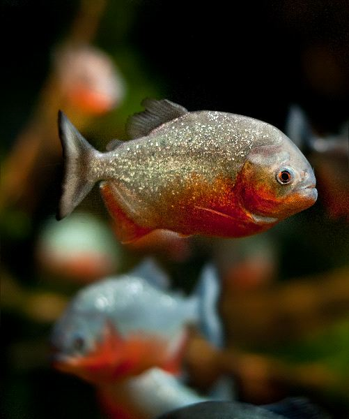 Piranha Facts