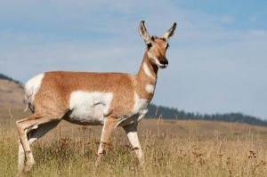 Pronghorn Information