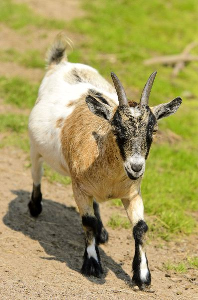 Pygmy Goat - Animal Facts and Information - photo#50