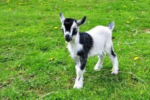 Pygmy Goat Information