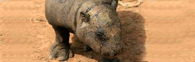 Pygmy Hippopotamus Calf
