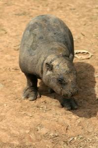Pygmy Hippopotamus Calf Facts