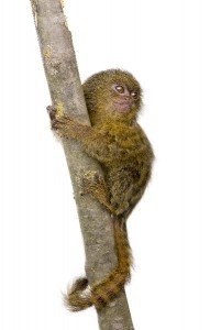 Pygmy Marmoset Infant Facts