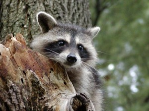 Raccoon Cub Facts