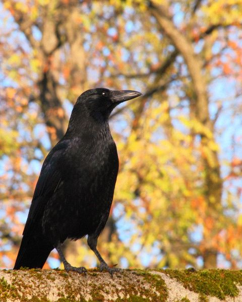 Common Raven Information