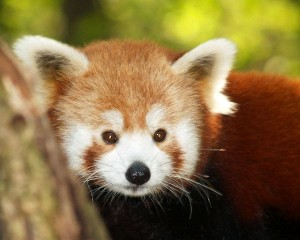 Red Panda Cub Facts
