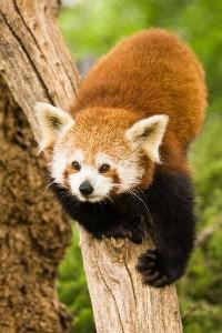 Red Panda Information