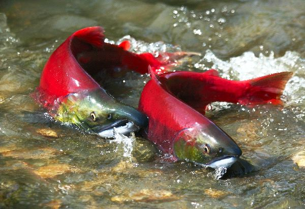 Sockeye Salmon Facts and Information