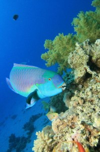 Parrot Fish Information