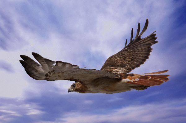 Red Tailed Hawk Information