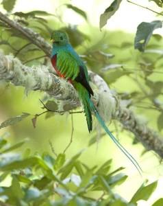 Resplendent Quetzal Information