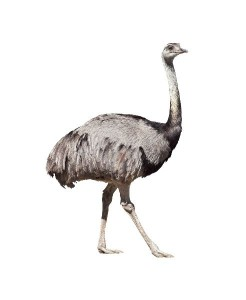 Greater Rhea Facts