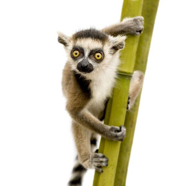 Ring Tailed Lemur - Lemur catta