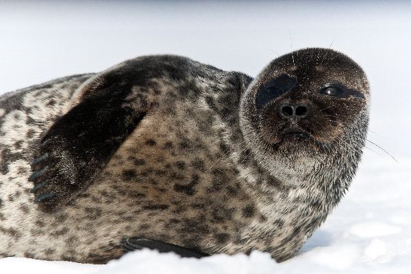 Ringed Seal Facts