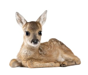 Roe Deer Fawn Facts