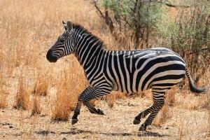 Zebra Facts