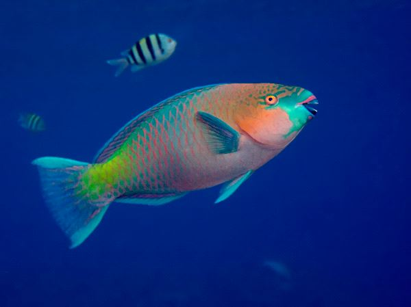 Parrot Fish Facts For Kids