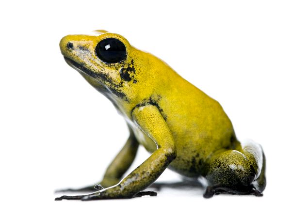 Golden Poison Frog Information