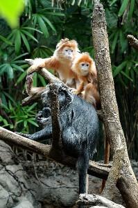 Silver Leaf Monkey Infants Facts