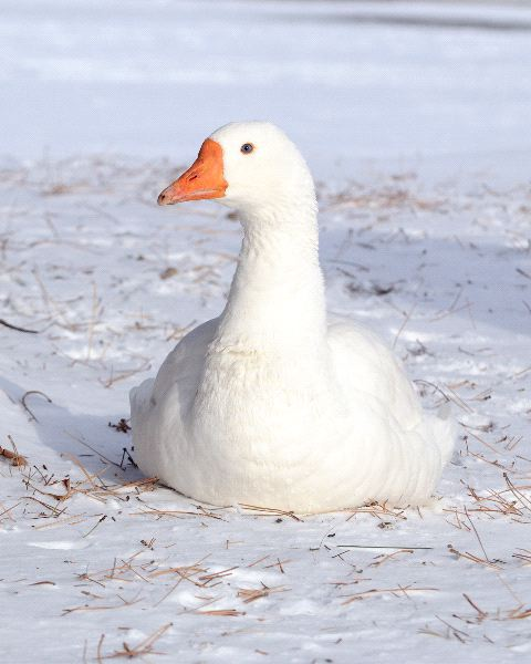 Snow Goose Information