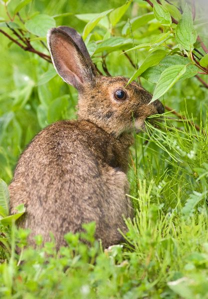Snowshoe Hare Facts and Information