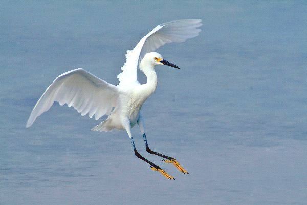 Snowy Egret Facts