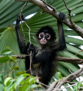 Spider Monkey Infant Facts