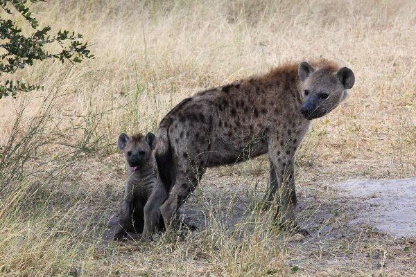Spotted Hyena Information