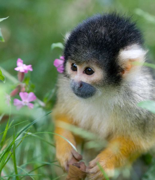 Squirrel Monkey: Genus Saimiri