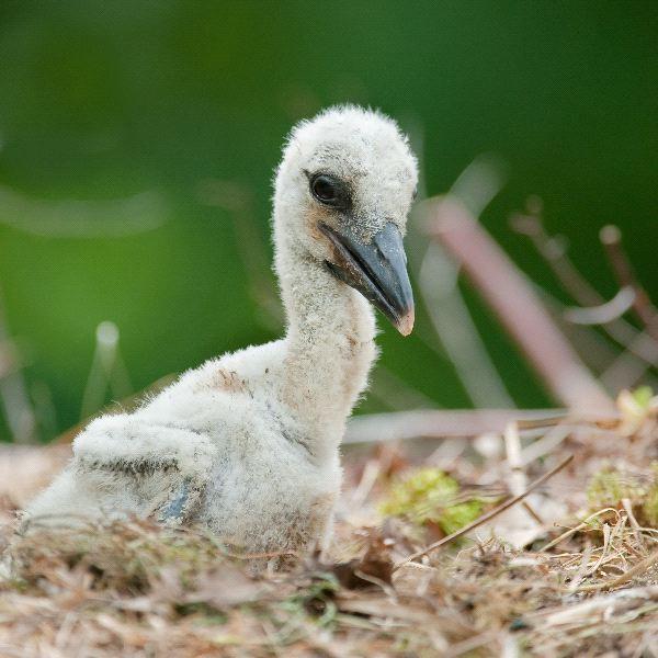 Stork - Family Ciconiidae