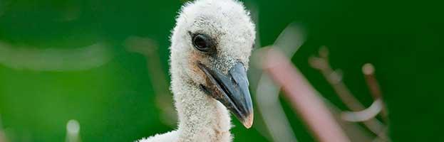 Stork Chick