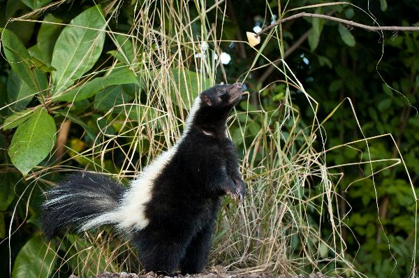Striped skunk Facts