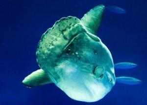 Ocean Sunfish Information