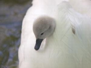 Swan Cygnet Facts