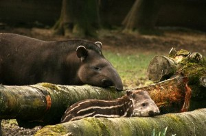 Tapir Information