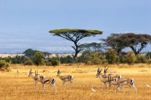 Thomson's Gazelle Information