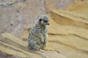 Meerkat Facts and Information