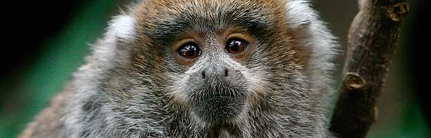 Titi Monkey Infant