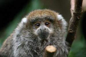 Titi Monkey Infant Facts