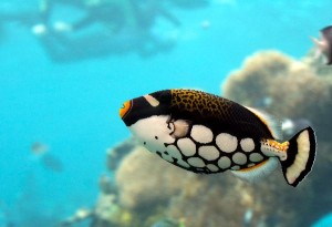 Triggerfish Facts