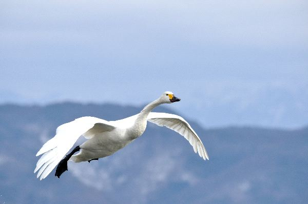 Tundra Swan Information