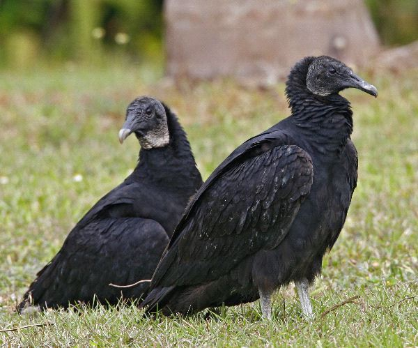 Black Vulture Facts