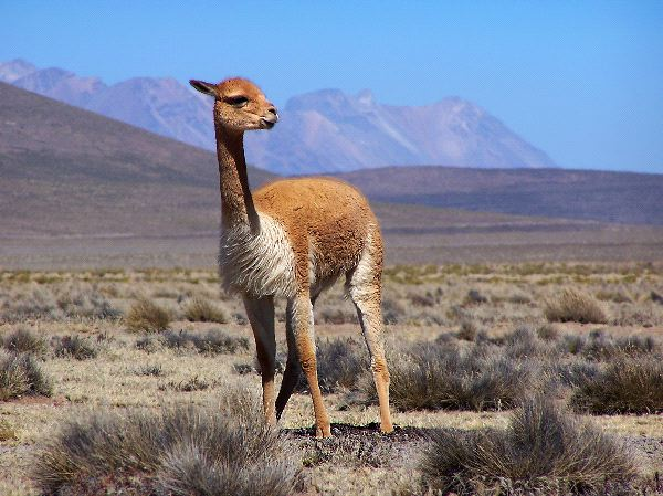 Vicuña - Animal Facts and Information