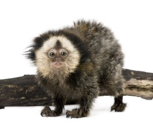 White-Headed Marmoset Infant Facts