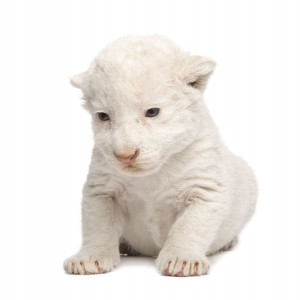 White Lion Cub Facts
