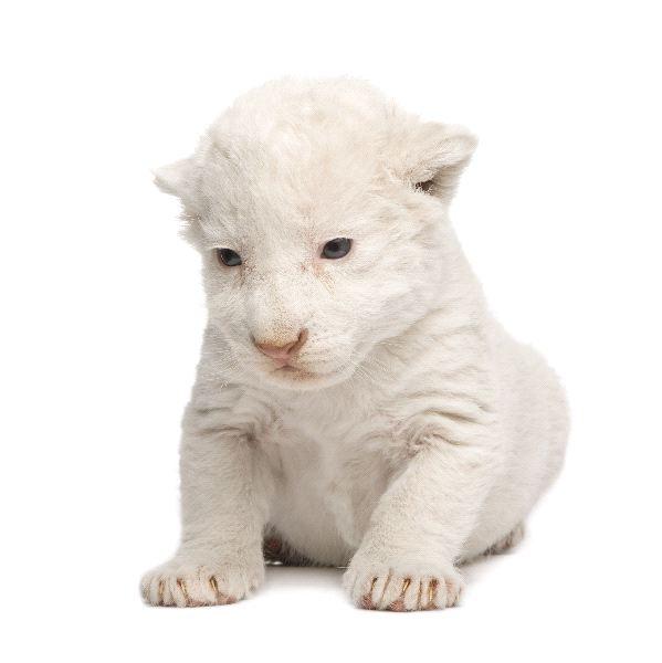 White Lion - Phantero leo candidus