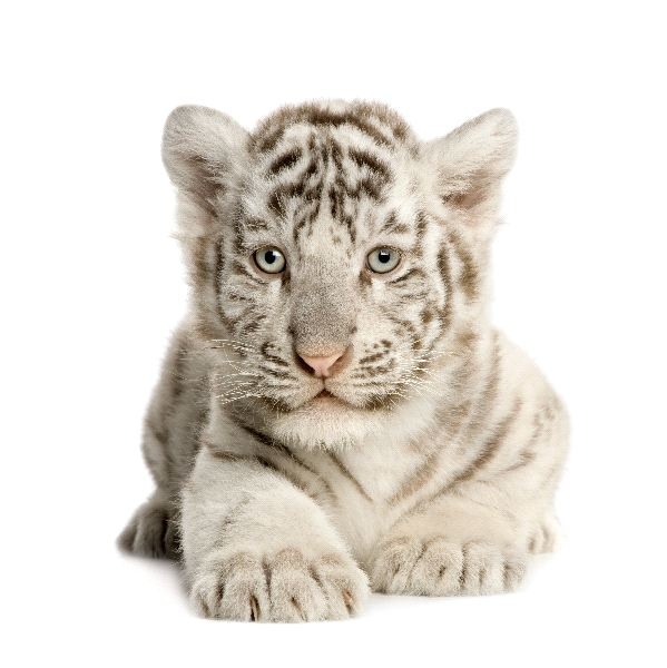 White Tiger - Genus Panthera