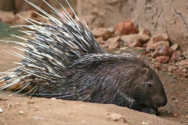 Porcupine Facts