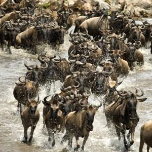 Wildebeest Information